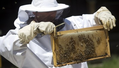 In this Wednesday, May 15, 2013 photo, a scientist inspects bees during a scientific experiment at the Faculty of Agriculture at Zagreb University. Croatian researches, working on a uni