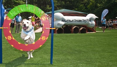 This June 15, 2011 photo released by Beneful shows Buddy, a yellow lab, making use of an agility hoop at the unveiling of America