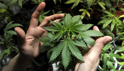 FILE - In this Nov. 14, 2012 file photo, a marijuana grower shows plants he is cultivating with some friends in Montevideo, Uruguay. The Uruguayan Congress is debating President Jose Mu