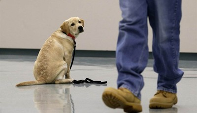 In this Nov. 26, 2012 photo, Dill, a veteran assistance dog in training, looks on as inmate John Barba walks away after commanding him to sit and stay during a demonstration at Western