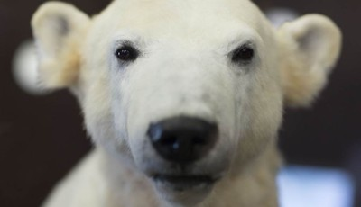 Late polar bear Knut is on display at  the Natural History Museum  in Berlin, Friday, Feb. 15, 2013. Adorable in life, still attracting admirers in death: Knut the polar bear