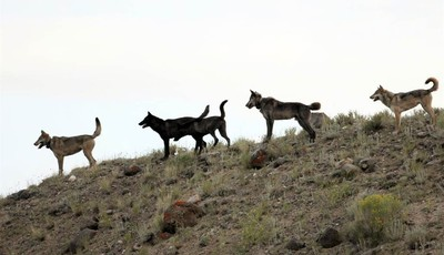 FILE - In this August 2012 file photo provided by Wolves of the Rockies, the Lamar Canyon wolf pack moves on a hillside in Yellowstone National Park, Wyo. As the progeny of wolves reint