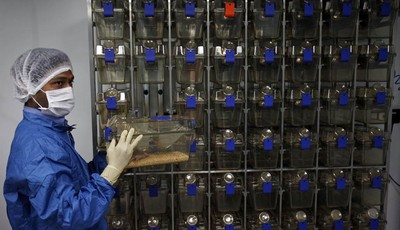 FILE – In this March 13, 2012 file photo, Indian pharmacologist removes mice from cages to study the reaction of cytotoxic drugs, inside a containment facility of the Research and Devel