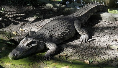 FILE - In this Nov. 17, 2009 file photo, a Siamese crocodile is seen at Phnom Tamao Wildlife Rescue Center in Phnom Tamao village, Takoe province, about 45 kilometers (28 miles) south o