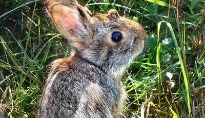 This undated photo provided by New Hampshire Fish and Game Department shows a New England cottontail rabbit. Wildlife officials say the New England cottontail could soon face extinction