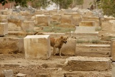 -                A dog passes by damaged headstones at the Jewish cemetery, in Cairo, Egypt, Thursday, April 18, 2013. The leader of Egypt's dwindling and aging Jewish community, known for her tireless