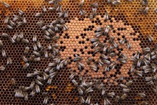 -                In this photo taken Monday, April 15, 2013, honey bees and the queen (with yellow dot) sit on a honeycomb in Wezembeek-Oppem near Brussels. EU Member States meet on Monday April 29, to