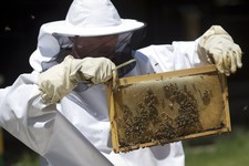-                In this Wednesday, May 15, 2013 photo, a scientist inspects bees during a scientific experiment at the Faculty of Agriculture at Zagreb University. Croatian researches, working on a uni