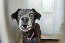 -                This image provided by the San Bernardino County Animal Shelter in San Bernardino, Calif., shows a dog at the shelter on Friday, July 5, 2013. The animal was one of more than 130 dogs s