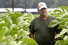 -                In this photo taken Friday, July 12, 2013 Harnett County farmer Kent Revels inspects one of his tobacco fields in Fuquay Varina, N.C. Heavy rain across the nation's tobacco-growing terr