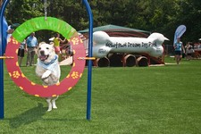 -                This June 15, 2011 photo released by Beneful shows Buddy, a yellow lab, making use of an agility hoop at the unveiling of America's first Dream Dog Park in Johns Creek, Ga. The $500,000