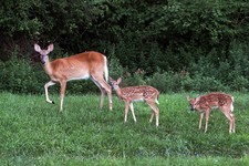 -                In this July 31, 2013, photo, a doe and two fawns look up from their grazing in a field in Hastings-on-Hudson, N.Y. The village plans to inject does with a contraceptive to reduce the d