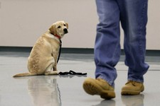 -                In this Nov. 26, 2012 photo, Dill, a veteran assistance dog in training, looks on as inmate John Barba walks away after commanding him to sit and stay during a demonstration at Western