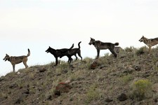 -                FILE - In this August 2012 file photo provided by Wolves of the Rockies, the Lamar Canyon wolf pack moves on a hillside in Yellowstone National Park, Wyo. As the progeny of wolves reint