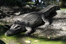 -                FILE - In this Nov. 17, 2009 file photo, a Siamese crocodile is seen at Phnom Tamao Wildlife Rescue Center in Phnom Tamao village, Takoe province, about 45 kilometers (28 miles) south o