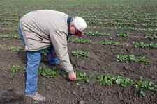 -                In this March 6, 2013 photo, farmer Frank DelTesta bends over to check on the sugar beets that will be processed into ethanol at a demonstration plant that's under construction, in Five