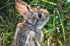 -                This undated photo provided by New Hampshire Fish and Game Department shows a New England cottontail rabbit. Wildlife officials say the New England cottontail could soon face extinction