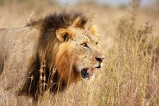 Cecil the Lion: What If We Find Out Cecil Wasn't Poached?