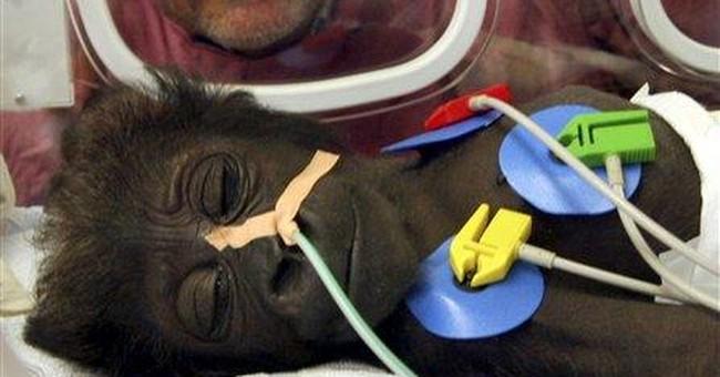Gorillas in the Nursery