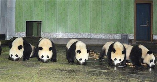 China panda baby boom aids against extinction
