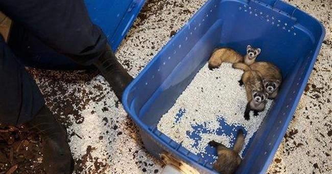 Zoos help restore nearly extinct ferret in US West