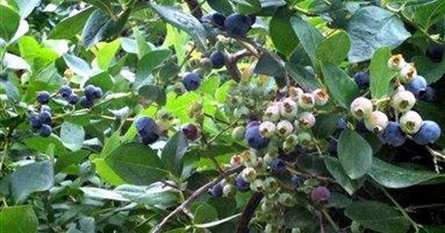 Florida takes advantage of gap in blueberry market