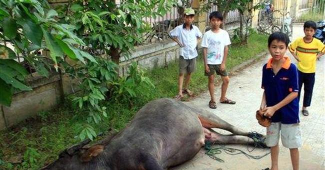 Rampaging buffalo injures 10 in Vietnam