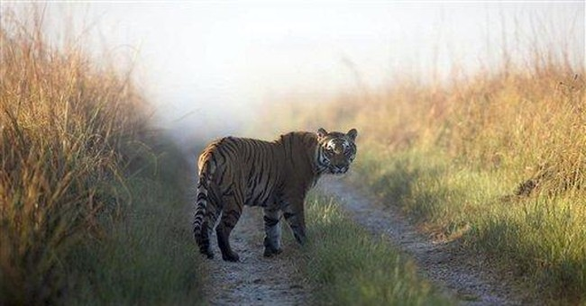 Indian state OKs shooting tiger poachers on sight