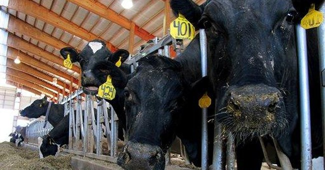Dairies pamper cows with chiropractors, waterbeds