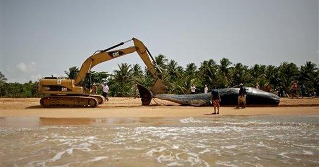 Stranded sperm whale dies along Puerto Rico coast