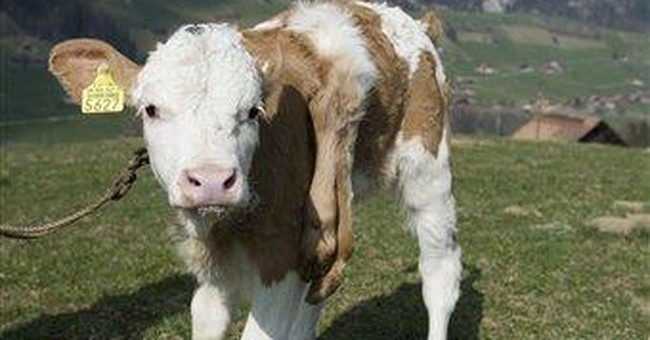 6-legged Swiss calf uncowed by disability