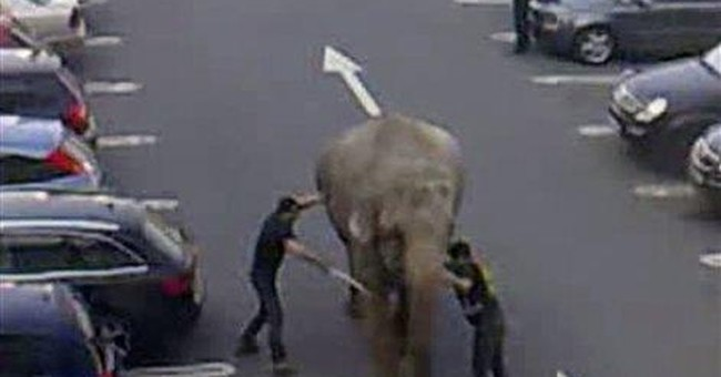 Elephant flees bath in Irish circus, startles