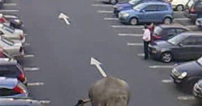 Elephant flees bath in Irish circus, startles