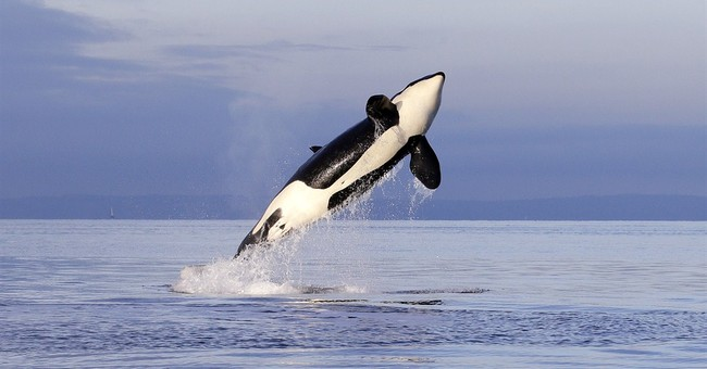 Years of research reveal more about iconic orcas