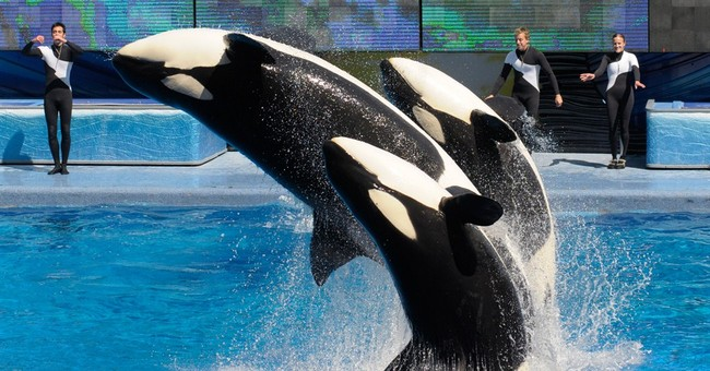 SeaWorld plans bigger killer whale environments