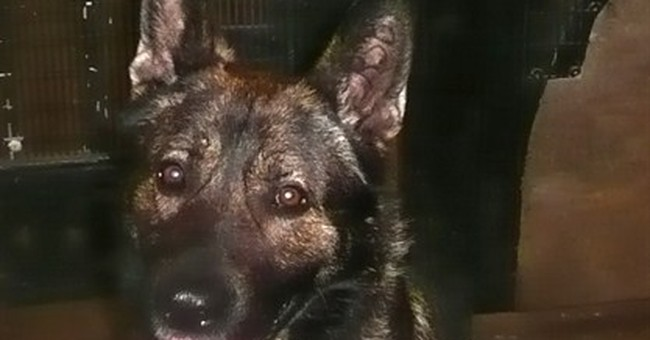 NYPD gets ex-military dog, a 1st for the force