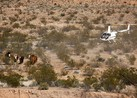 Did Feds Kill and Bury Cows from Bundy Ranch?