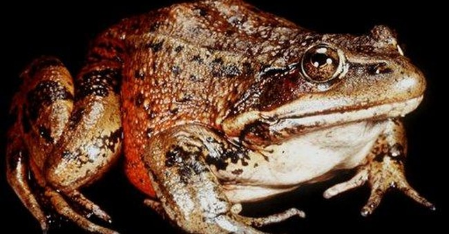 Environmental group to sue feds over SoCal frog