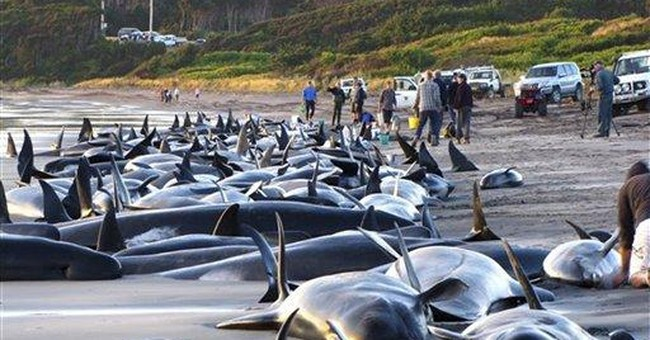 25 whales die after mass stranding in Scotland
