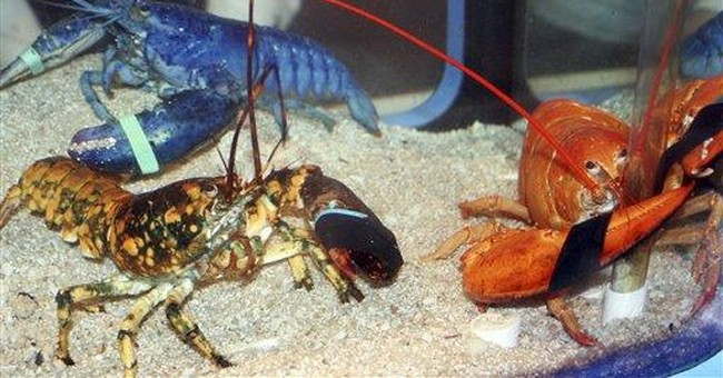 Conn. aquarium is new home to 3 exotic lobsters