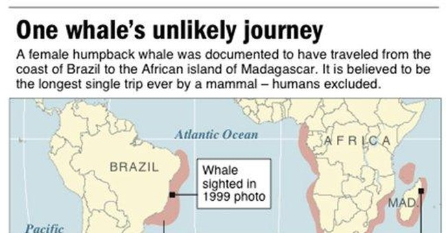 Whale of a Trip: Humpback makes record migration