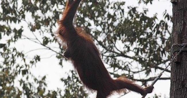 Bridges built to help Borneo orangutans meet mates