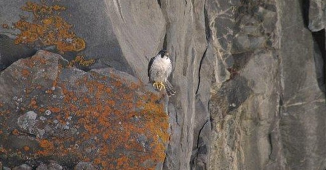 Peregrine falcons checked for Gulf oil taint