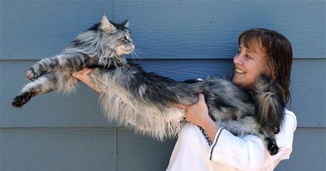 World's longest cat _ Stewie _ measures 4 feet