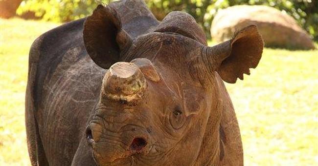 Rhino shot 9 times survives, taken to SAfrica zoo