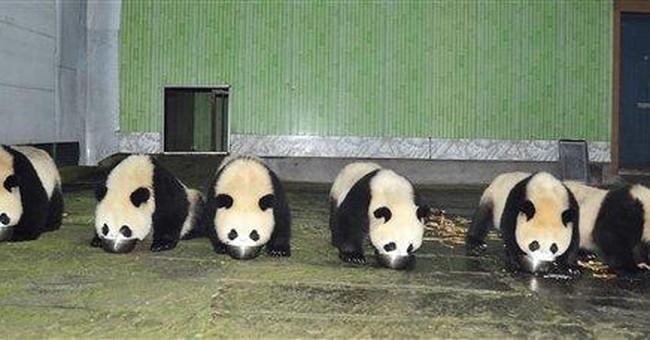 China panda baby boom aids against extinction