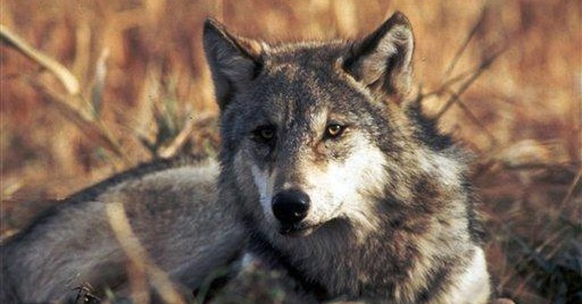 Wolf protections expected to be lifted by Congress