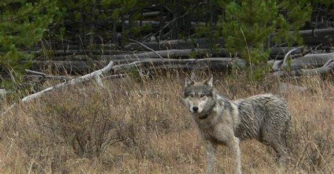 Congress measure against wolves seen as precedent