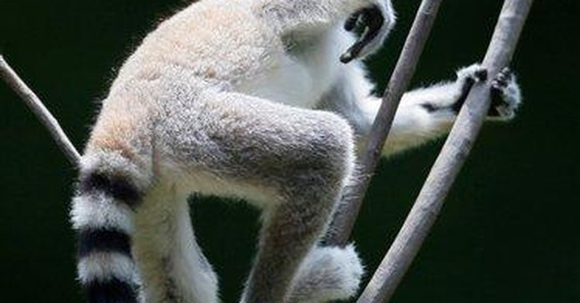 Pregnant primates delay Branson's lemur project