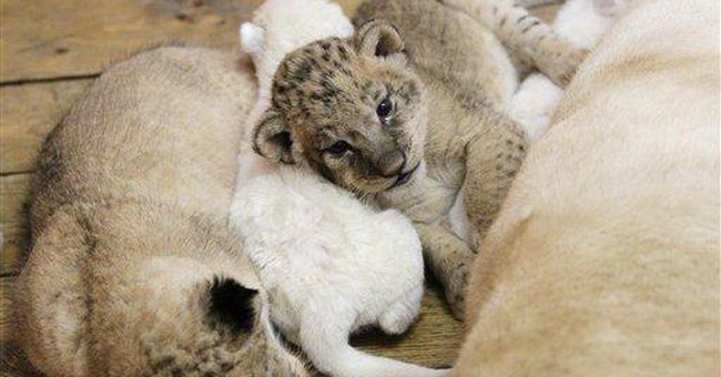 4 white lion cubs born at Belgrade Zoo